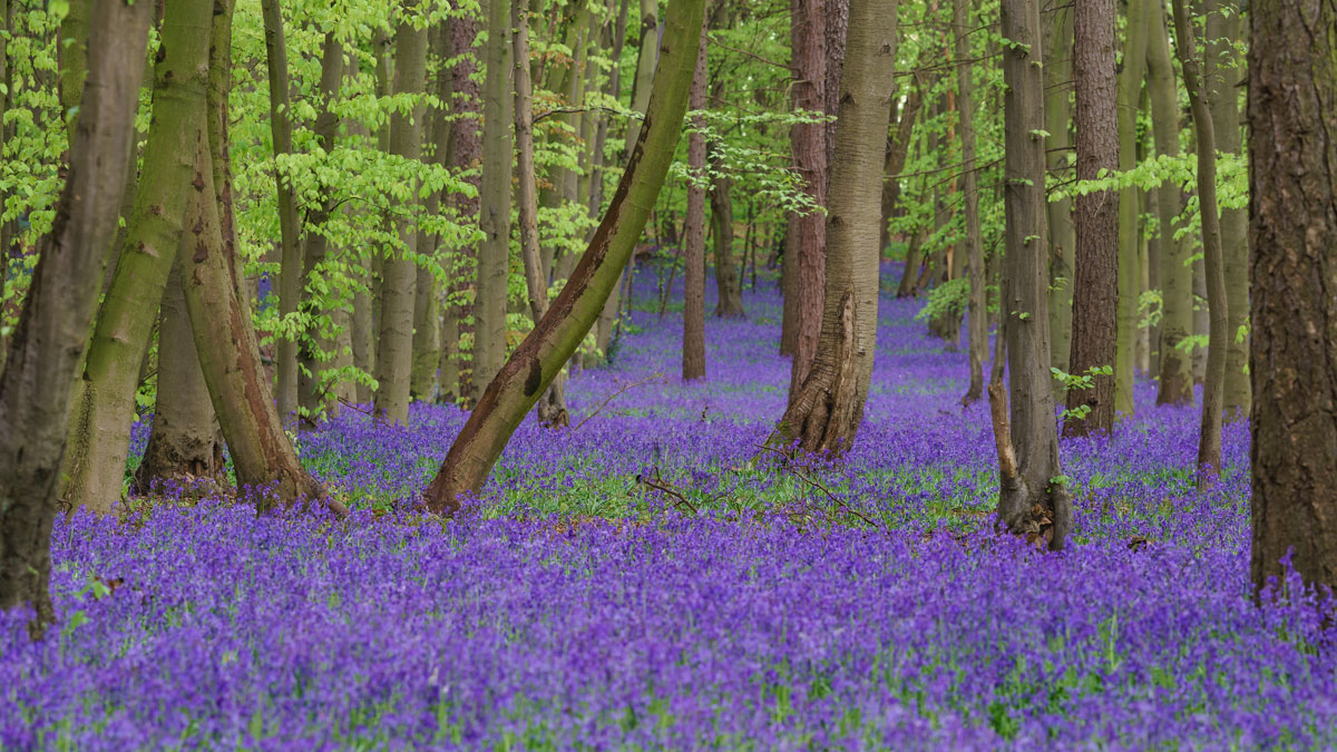 bluebells in pryors woods england Bluebells in Pryors Wood, England