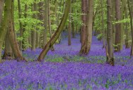 Bluebells in Pryor's Wood, England