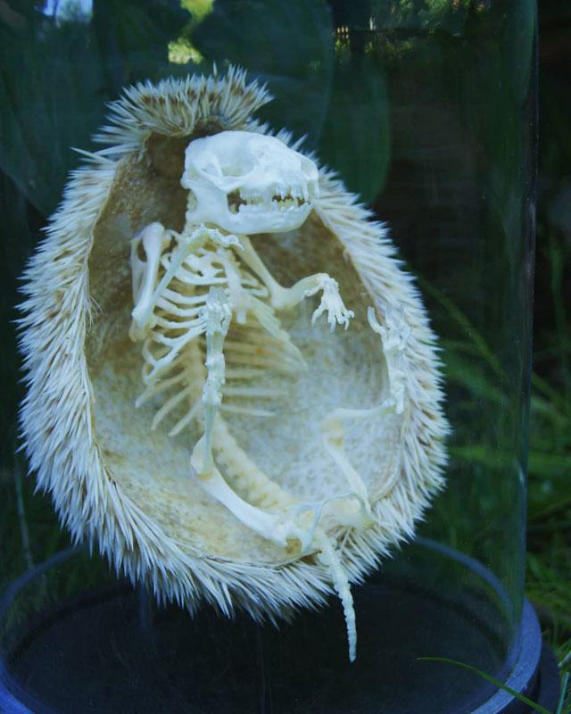 hedgehog skeleton 1 Hedgehog Skeleton is 🔥