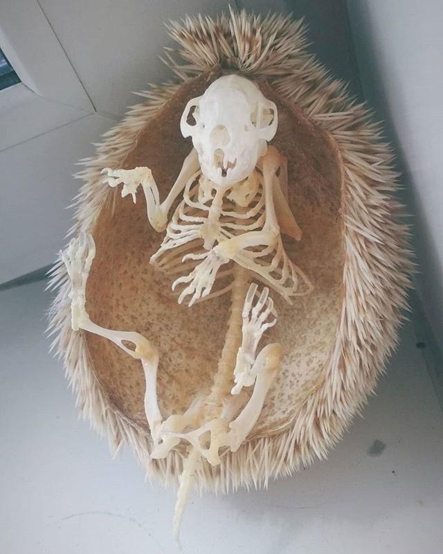 hedgehog skeleton 2 Hedgehog Skeleton is 🔥