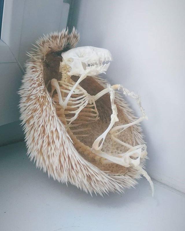 hedgehog skeleton 3 Hedgehog Skeleton is 🔥