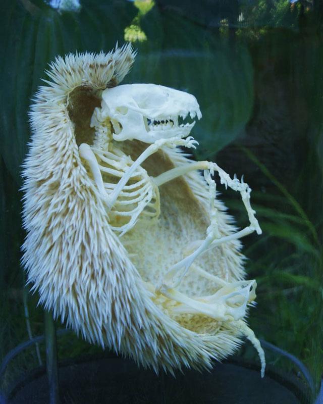 hedgehog skeleton 4 Hedgehog Skeleton is 🔥