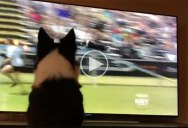 Kirk the Border Collie Watching Herself Win the 2017 Purina Pro Challenge