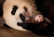 Panda Doesn't Realise She's Had Twins