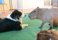 So a Dog and Capybara Walk Into a Room..