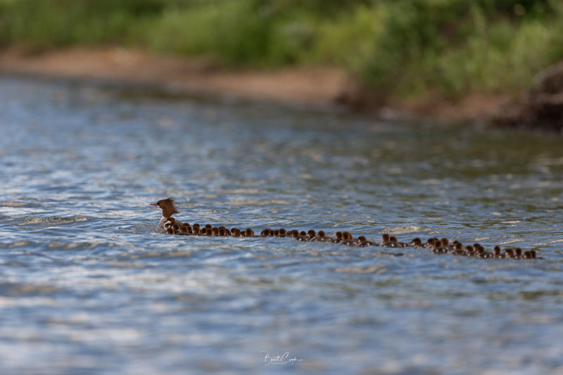 supermom merganser spotted with adopted brood of 76 chicks by brent cizek 1 Supermom Merganser Spotted With Adopted Brood of 76 Chicks