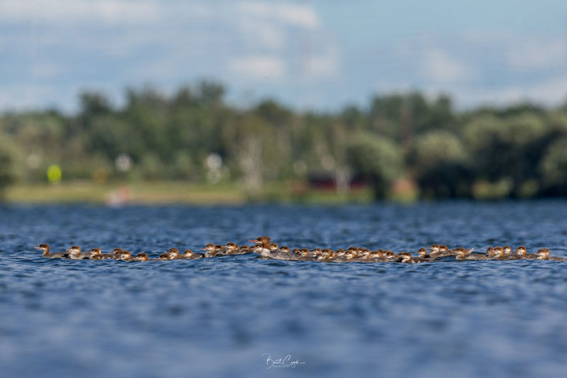 supermom merganser spotted with adopted brood of 76 chicks by brent cizek 2 Supermom Merganser Spotted With Adopted Brood of 76 Chicks