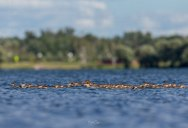 Supermom Merganser Spotted With Adopted Brood of 76 Chicks