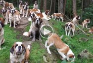 Yes, Walking 42 Saint Bernards Through the Woods is as Glorious as it Sounds