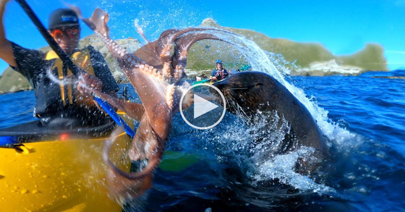 Seal Slaps Kayaker in the Face with Octopus