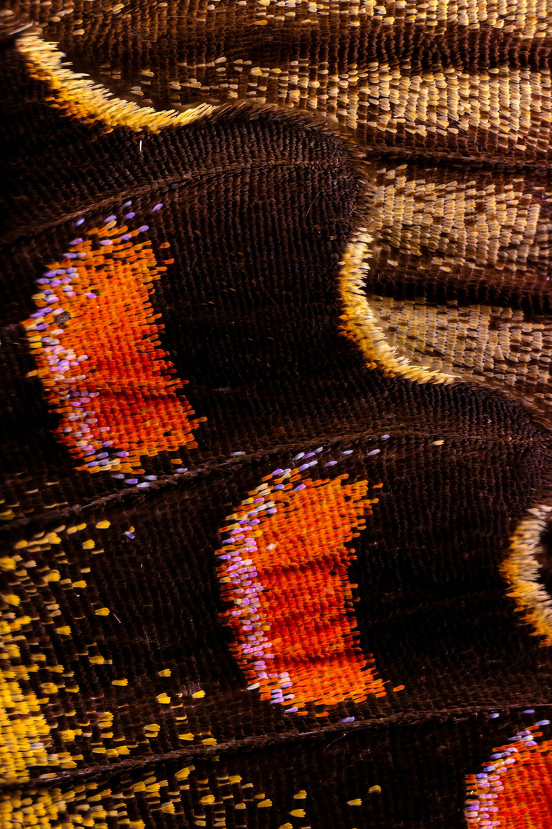 extreme close ups of butterfly wings by chris perani 3 Extreme Close Ups of Butterfly Wings by Chris Perani