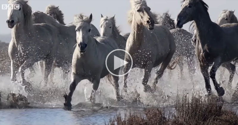 A Pack of Wild Horses Running Slow Mo Through Water is as Majestic as it Sounds