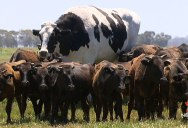 Absolute Unit Deemed Too Big for Abattoir Will Live Out Its Days Grazing