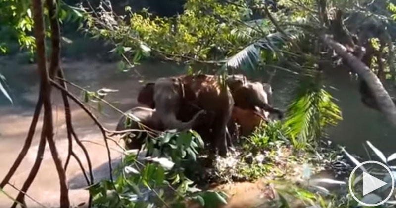 Elephants Salute People Who Rescued Their Baby Elephant From a Ditch