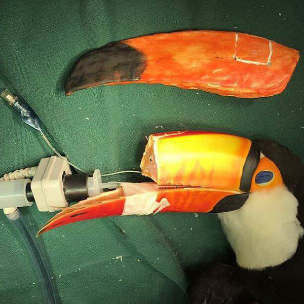vet 3d prints new beak for injured toucan 1 Vet 3D Prints New Beak for Injured Toucan