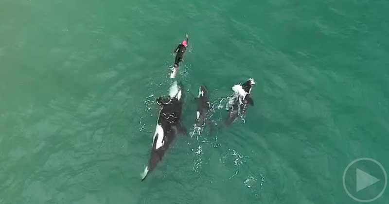 Drone Captures Lone Swimmer Amongst Pod of Orcas From Above