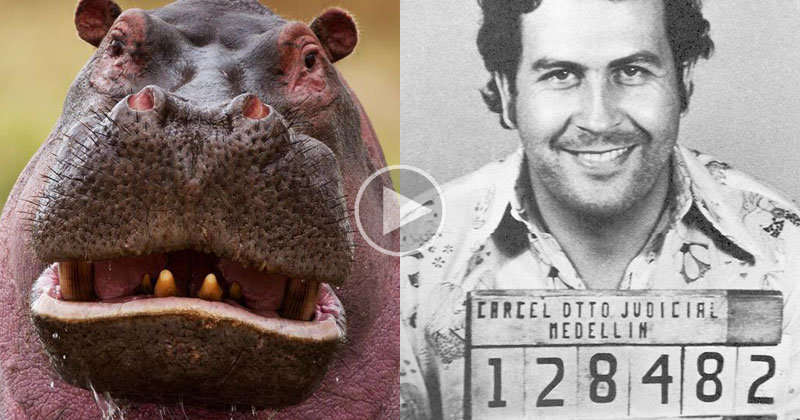 How Pablo Escobar Single-Handedly Created the Hippo Crisis in Colombia