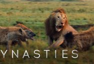 Lion Takes on 20 Hyenas in Intense Showdown – Full Clip (with Ending)