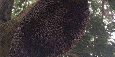 Check Out This Mesmerizing Defensive Wave Honeybees Use to Repel Wasps