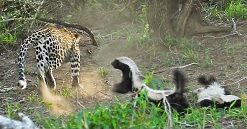 Honey Badger Mom Saves Her Baby From the Jaws of a Hungry Leopard