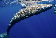 Amazing Footage Shows Sperm Whale Mimicking a Diver's Spins