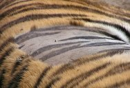 Today I Learned Tiger Skin is Striped Just Like Its Fur