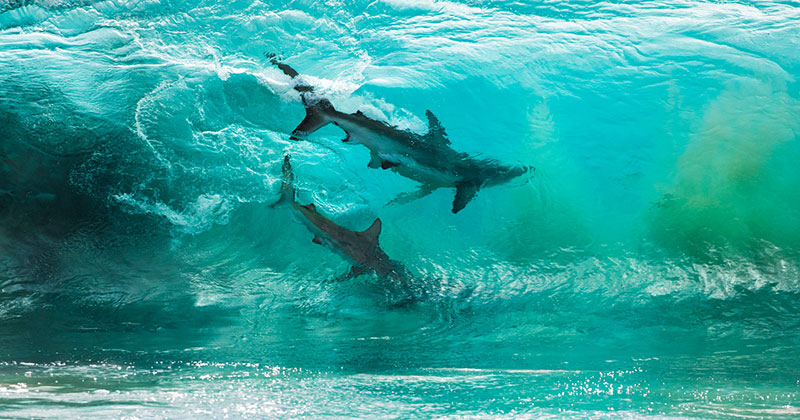 Photographer Captures Two Sharks Swimming Through a Cresting Wave