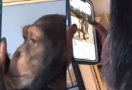 Watching This Ape Use Instagram Is Completely Surreal