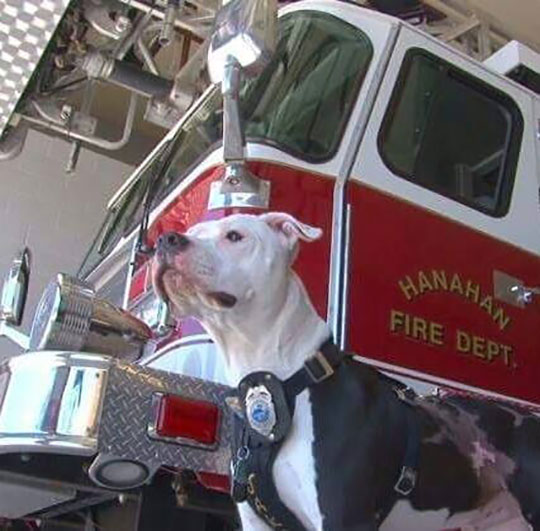 jake the puppy saved from a fire that went on to become a firefighter 9 Jake, the Puppy Saved From a Fire, that Went On To Become a Firefighter