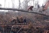 Lone Orangutan Tries to Fight Bulldozer Destroying Its Home