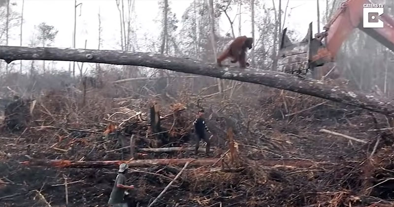 Lone Orangutan Tries to Fight Bulldozer Destroying Its Home