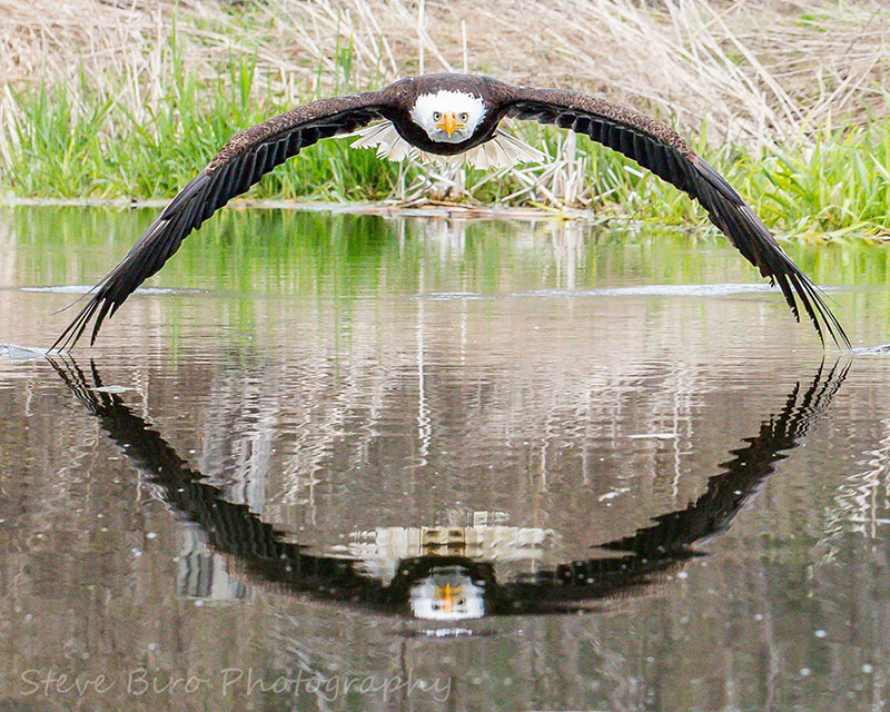 bald eagle reflection steve biro Amateur Photographers Perfect Bald Eagle Reflection Photo Goes Viral