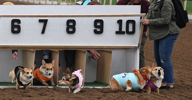 corgi race funny The Shirk Report   Volume 528