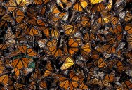 This is the Sound of Millions of Monarch Butterflies
