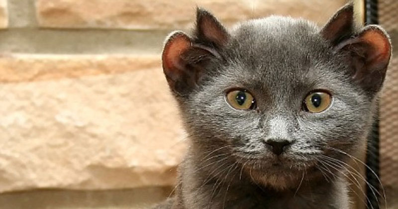 A Rare Cat Born With Four Ears; Yoda His Name Is