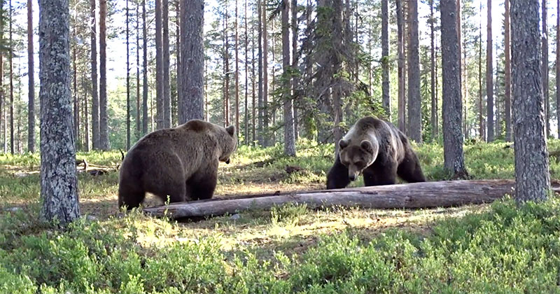 Insane Bear Fight Caught on Video