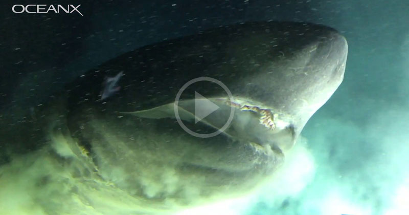 Face to Face with an Ancient Deep Sea Shark That Pre-Dates Most Dinosaurs