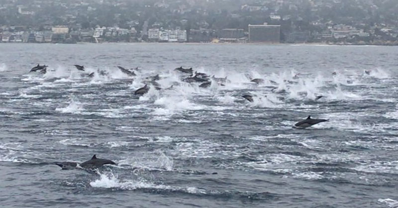 Please Take a Moment and Cherish this Huge Pod of Dolphins Swimming Free