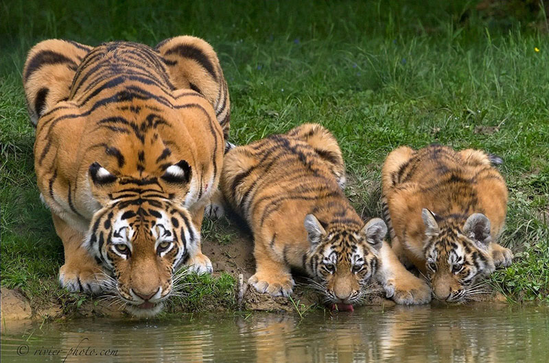 so tigers have eyespots on their back as intimidation when they drink 1 So Tigers Have Eyespots on their Back as Intimidation When They Drink