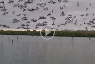 Amazing Coordinated Dive Bombing by a Flock of Blue-Footed Boobies