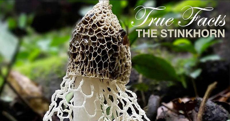 True Facts of the Stinkhorn Mushroom