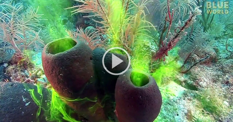 Diver Demonstrates the Amazing Pumping Ability of Sponges With an Awesome Visual