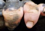 Amazing Closeup of a Gorilla's Hand with Vitiligo