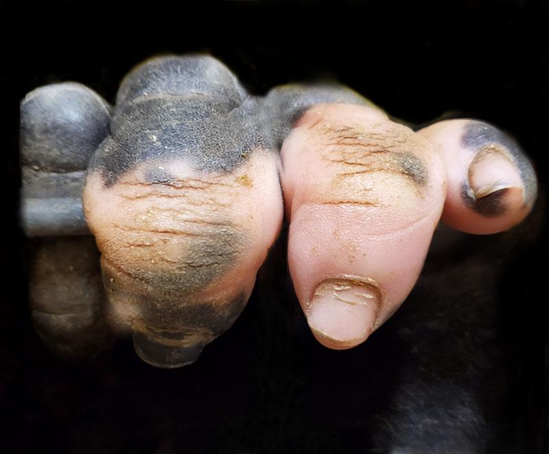 gorilla hands look human pink pigmentation Amazing Closeup of a Gorillas Hand with Vitiligo