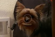 Dog Steals Owner's Fake Novelty Teeth and Makes Them Infinitely Funnier