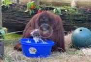 Even Sandra the Orangutan is Washing Her Hands