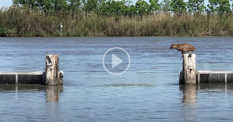 Bobcat Makes Huge Jump Over Water Look Effortless
