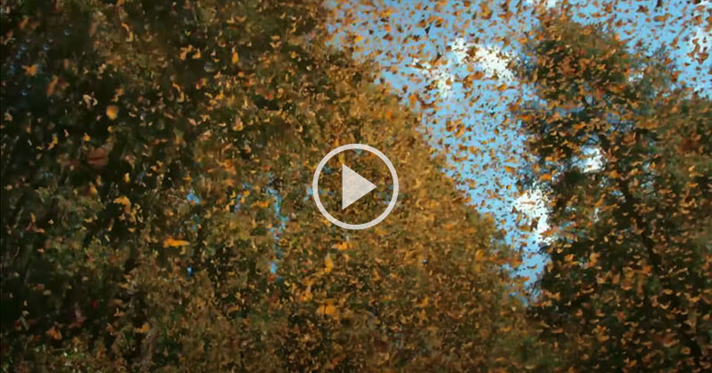 Flying Through 500 Million Butterflies with a Tiny Hummingbird Drone