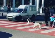 Stray Dog Becomes Local Hero After Helping Kids Cross Street by Barking at Cars to Stop
