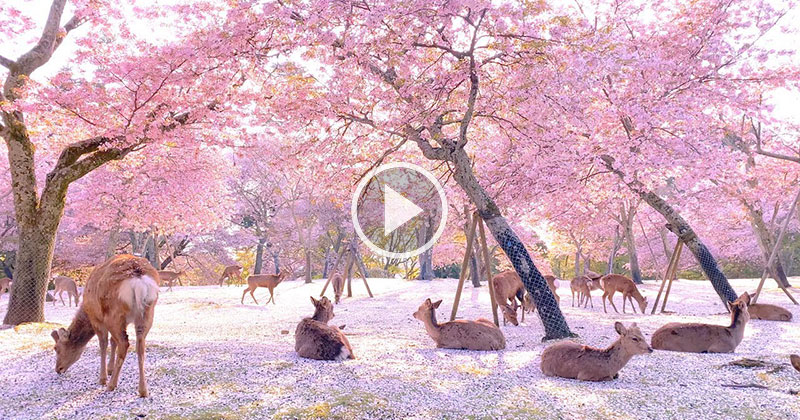 This Herd of Deer Relaxing Under Cherry Blossoms is the Most Beautiful Thing